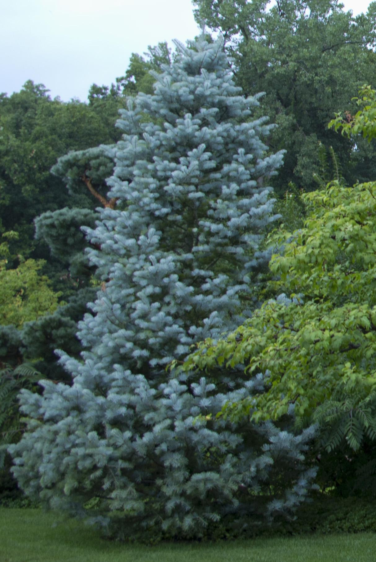 Ornamental evergreen trees - Ornamental Evergreen Trees 17
